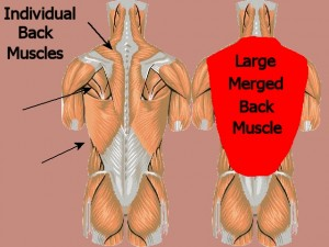 Back_One_Big_Muscle-IndividualMusclesToOneMuscle