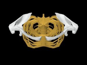Single_Cylinder_Skeleton_Derivation-CollarbonesHighlightedOverheadView