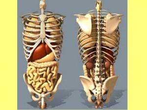 Yin fu ba gua and the single cylinder view of the human body yinfusinglecylinder01 internalorgansskeleton ccuart Choice Image