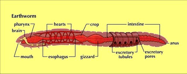 Worm diagram label explore schematic wiring diagram images of earthworm model labeled spacehero rh superstarfloraluk com earthworm diagram label worm diagram labeled ccuart Images