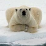 Pyramid Shaped Body Parts 10 - Polar Bear