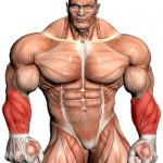 A Caricature Of The Muscle Anatomy Of The Human Body