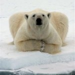 Pyramid Shaped Body Parts 10 - Polar Bear
